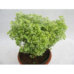 Areria Plant