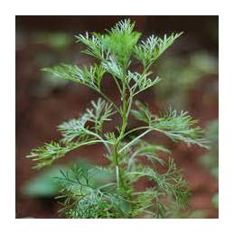 Bhimkapur Davana Plant