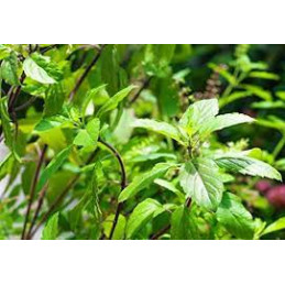 Lavang (Clove) Basil Plant