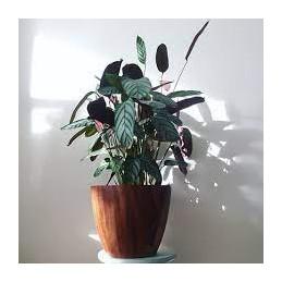 Marantas (Prayer) Plant