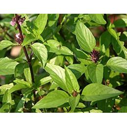 Marva Plant