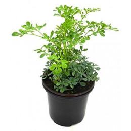 Satap Plant