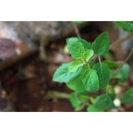 Tulas / Basil Plant